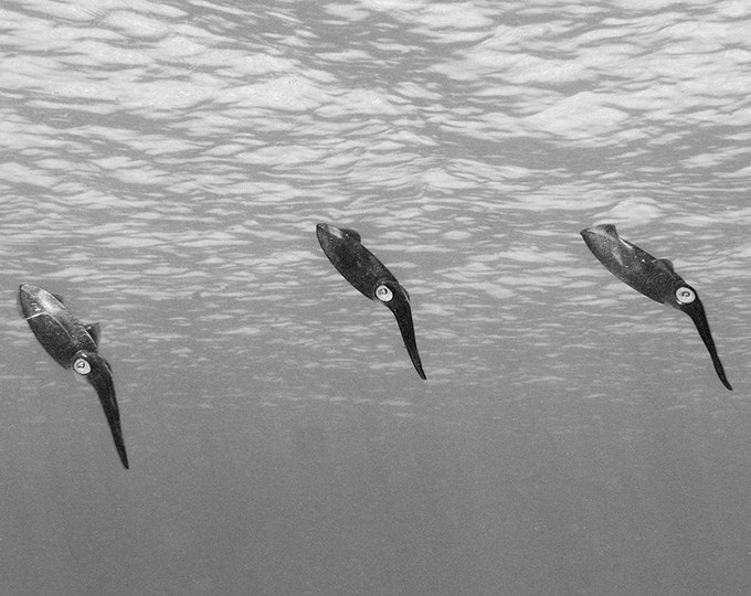 Squid Art Black and White Photograph of Three Reef Squid Nautical Decor Underwater Photography