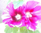 Sun-drenched Hollyhocks - 5 x 5 photographic print