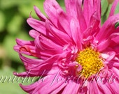 Fine Art Photography And The Garden Got Pink 8X12 Metallic Print Flower Nature Photo Picture Home Decor