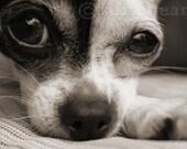 Chihuahua Dog Photography Art Black & White Sepia Print Photo