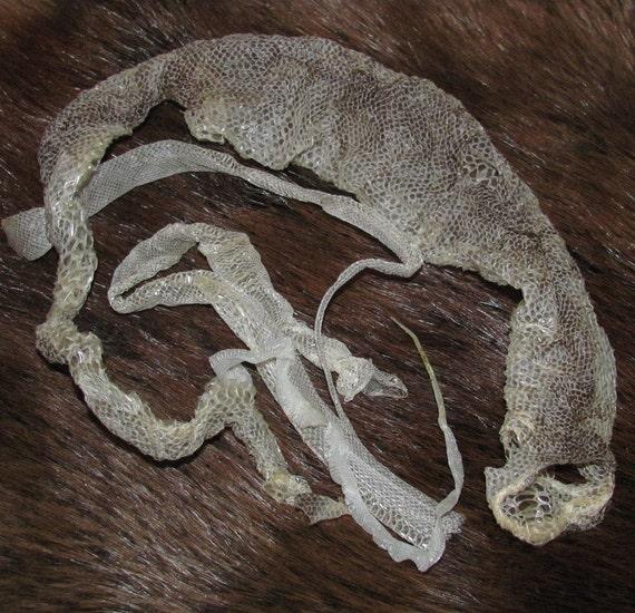 3 Snake Skin Sheds Carpet Python Ball Python Baby Corn
