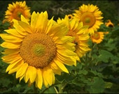Golden Yellow Flower Photograph - Sunflower - Sunshine on a Stalk - Fine Art Photograph Home Decor