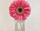 Pink Gerbera Daisy - 5x7 Fine Art Flower Photograph - Dreamy Romantic Decor - Floral Room Decor
