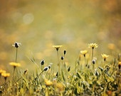 Yellow Wildflowers - Spring Flowers Photograph - Made in Israel - 8x12 Nature Photograph