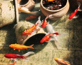 Koi Fish Pond - Red Orange Yellow Fish - Made in Israel - 5x7 Nature Photograph