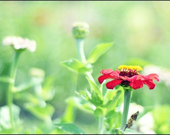 Red & Yellow Zinnia Flower Photography - Something I Saw in a Dream - Fine Art 5x7 Photograph
