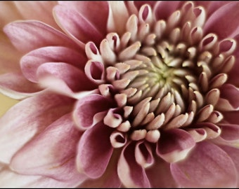 Pink and White Flower Photography - Chrysanthemum Photograph - floral photography - Reminiscence