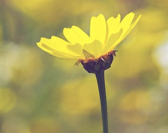 Yellow Daisy - Spring Wildflower - Dreamy Photography - 5x7 Fine Art Photo - Sunshine Daydream