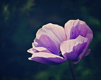 Purple Anemone - Wildflower Photography - Israel Spring Flowers - Purple Flower Art - 5x7 Fine Art Photo