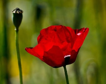 Poppy and Fence - Red Poppy - Red Flower Photograph - Made in Israel Wildflower Photography - 5x7 Photo