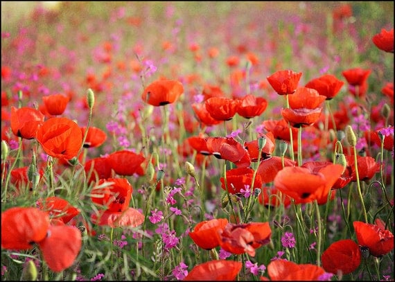 Poppies in Spring - 5x7 Fine Art Photograph poppies campions red pink Israeli wildflowers blooming by Around the Island Photography
