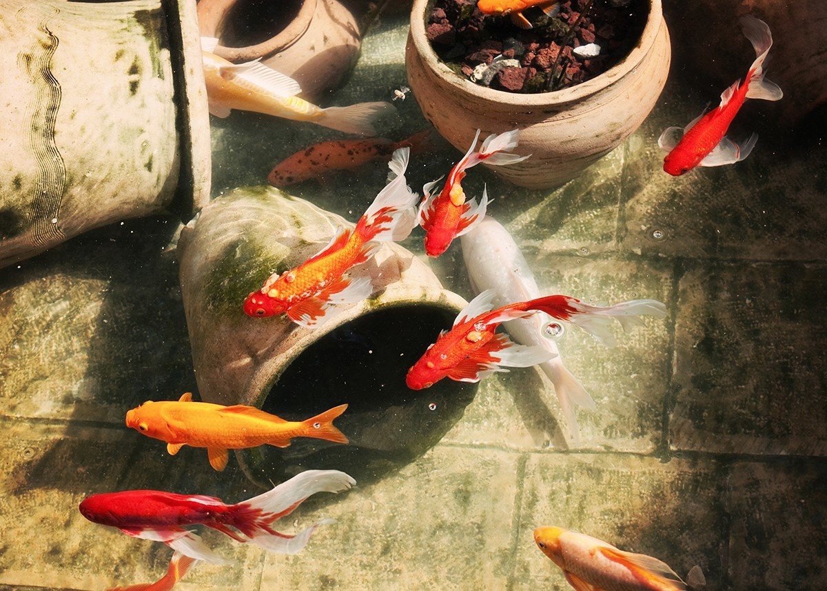 Koi fish pond red orange yellow fish made in israel 5x7 for Amazing koi fish