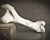 Bleached Cow Leg Bone