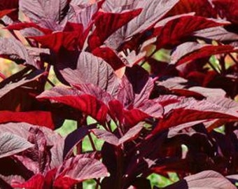 Amaranth, Organic Red Amaranth Seeds :  Highly Nutritious Decorative Rich Burgundy Plants Perfect for Your Vegetable Garden