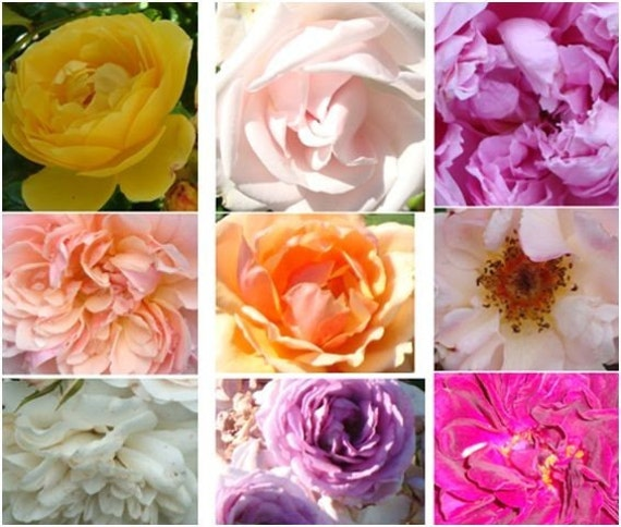 Organic Heirloom Rose Seeds