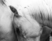Rhapsody In White - Black and White horse photograph / fine art print