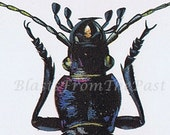 1960s INSECT Lithograph -- 'Carabus Intricatus'