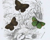 1896 Antique BUTTERFLY Chromolithograph, Pl XLI, Beautifully Illustrated, Stunning, Home Decor, Earth Tones, Brown, Lovely, Gorgeous