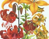 Vintage BOTANICAL Print Pl 69, Gorgeous, Perfect for Framing, Fiesta Lily, Garden, Shades of Red Orange and Yellow, Summer, Spring