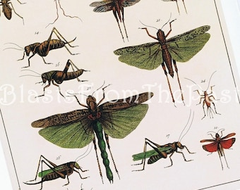 Albertus Seba INSECT Print, 'Tomus IV, Tabula 65', Grasshopper, Cricket, Butterfly, Dragonfly, Large, Perfect for Framing, Man Cave, Office