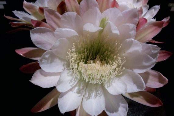Plant, Cactus, Night Blooming Cereus