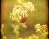 Slumber - The Sleeping Ladybug - 8 by 8 Fine Art Photo- FREE SHIPPING