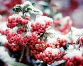 Berries snow Photography pyracanthus winter christmas crimson red pink green lady mom white fall gifts - First snow - fine art photograph