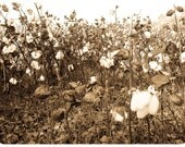 Southern Photography cotton plant field farm postcard crop harvest shabby chic rustic tan white barn - Looking back - fine art photograph