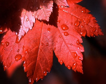 Maple leaf Photograph canada fall harvest october water droplets russet shadows red crimson garnet Serrated edge - square fine art photo