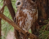 Northern Saw-whet owl,  8x10 unframed print