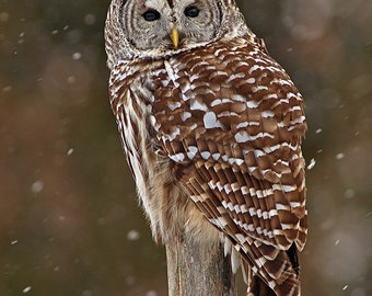 Barred Owl, hunting in the snow, photographic greeting card