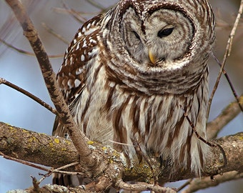 Barred Owl, daytime hunting, blue sky