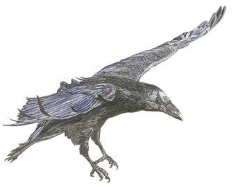 The Egg Thief  Raven