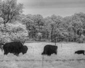 Buffalo, Buffalo photo, infrared photo, fine art photography, fine art photography, Buffalo photography