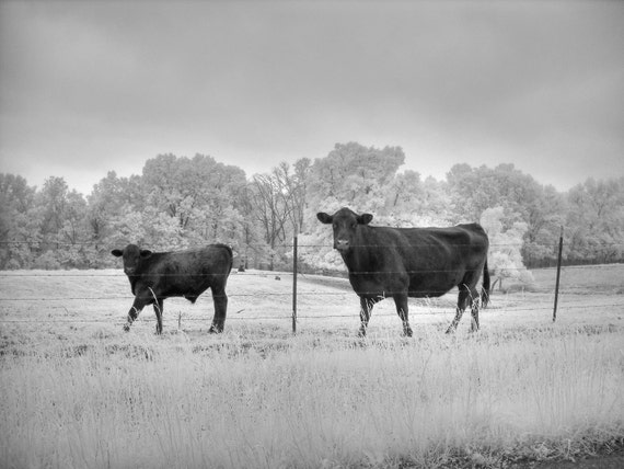 Infrared Cow photo, cattle photography, cow photography, black and white cow, black and white photography, infrared photography, farm photo