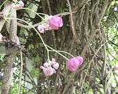 Chocolate Vine Seeds - Grows up to 20 feet in one year-Marvelous - Mailed in a glassine bag with a Topper