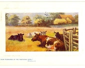 1908 Raphael Tuck Postcard, Cows in a Pasture