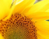 Photography Print of Blooming Sunflower, Fall Flowers