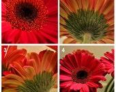 Photography Print Set of four Gerber Daisy