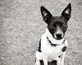 Rat Terrier Dog Photography Black and White Shelter Dog