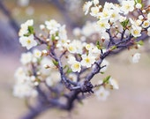 CLEARANCE,flowers,blooming apple tree,shabby chic wall decor,floral artwork,white flowers,fine art photography,nature photo,cottage chic
