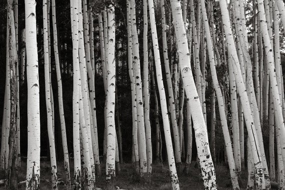 Items similar to aspen trees tree trunks birch trees black for Black and white tree wallpaper mural