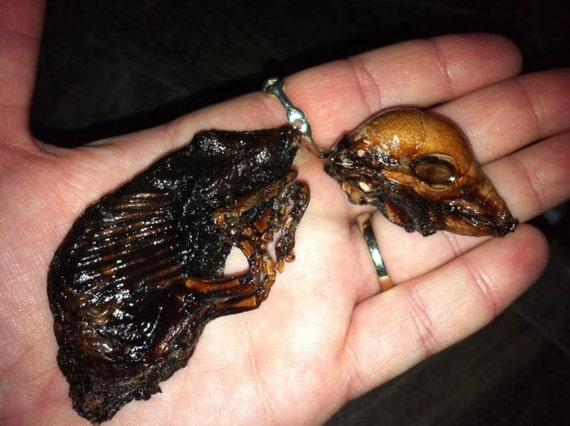 Decapitated Mummified Fetal Pig named Mr. Brooks, Mummy Pig, Preserved Specimen