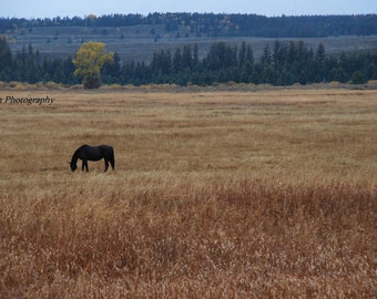 "Landscape Photography, Black horse in field alone,grazing horse,Equestrian art,Horse art, ""Content in a Field of Gold"",16x20"" Fine Art Print"