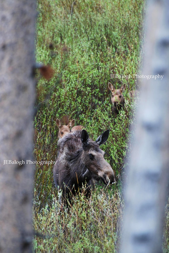 """Nature Photography, Wildlife, Moose and Twins, Mother Moose, Green Silver Brown, """"Through the Aspens"""""""