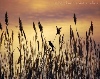 Bird in the Rushes at Sunrise, Bird Watching, Nature Photo