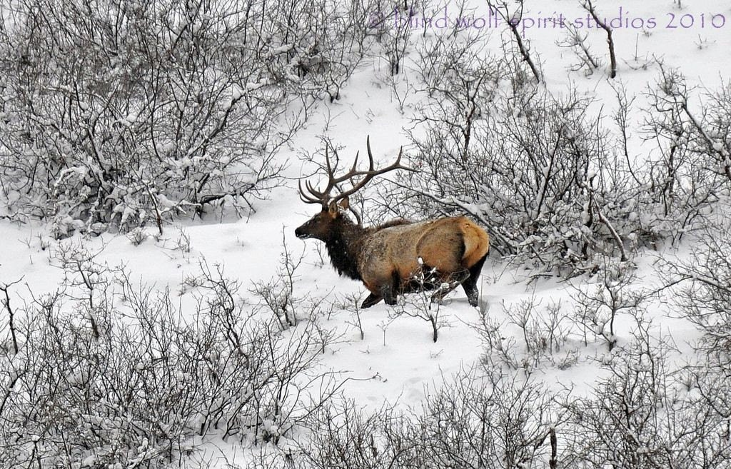 Wildlife Photography Elk in Snow Winter Photography Nature
