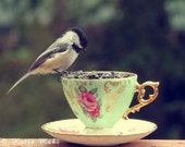 Chickadee With Your Tea 8 x 10 Fine Art Photograph of Chickadee Perching on Vintage Teacup