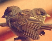 Togetherness Fine Art Photograph of Two Baby House Sparrows