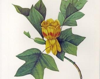 Redoute Print of Tulip Tree Book Plate SALE Buy 3, get 1 FREE